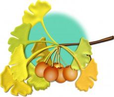銀杏の葉とギンナンのイラスト