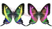 アゲハ蝶のイラスト